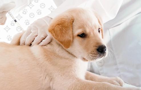 La vacunación de un cachorro. Su primer gran paso.
